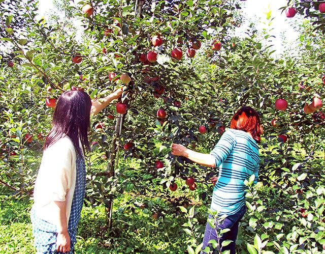 荒牧りんご園でりんご狩りをしている様子