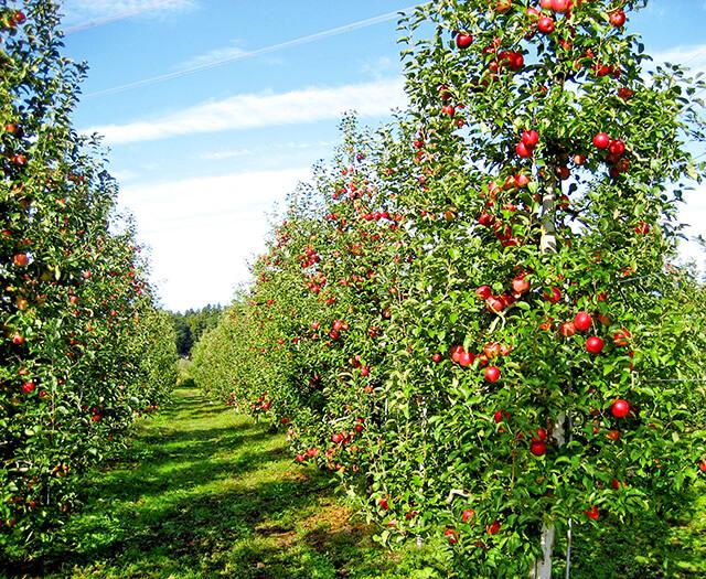 荒牧りんご園のりんごが木になっている様子