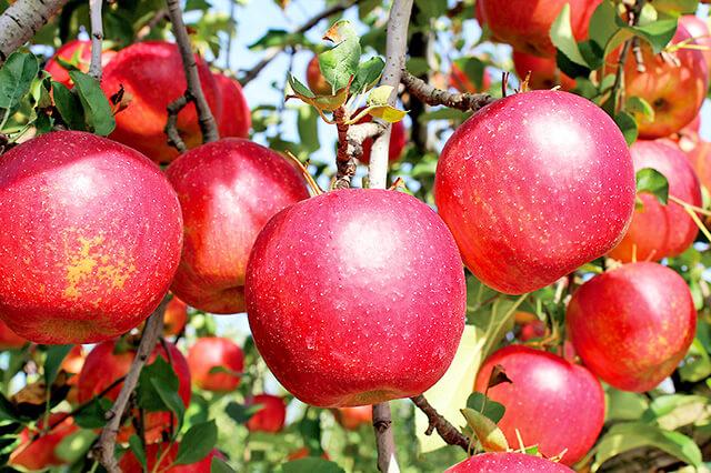 菊地りんご園のりんご