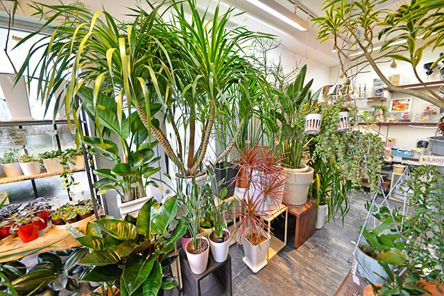 店内には観葉植物が多数並んでいます