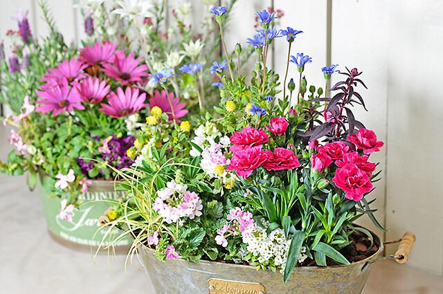 とちぎ園芸のピンクのバーベナの寄せ植え