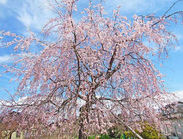 お風呂からも見える館内のしだれ桜