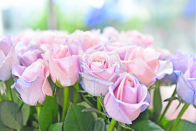 花物語 うすピンク色のバラを青く染めている様子