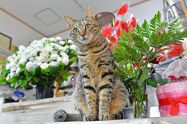 花物語本店で店番をしている看板猫ちゃん