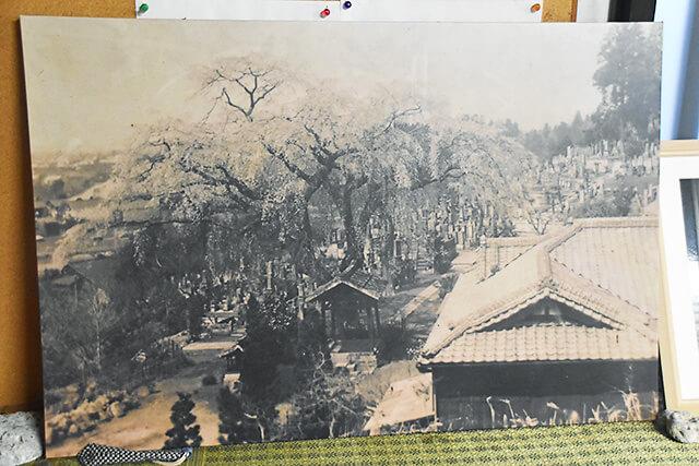 火災前の祥雲寺の桜を写した写真