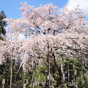 しだれ桜の名所・宇都宮「祥雲寺」で境内めぐりを楽しもう-PR