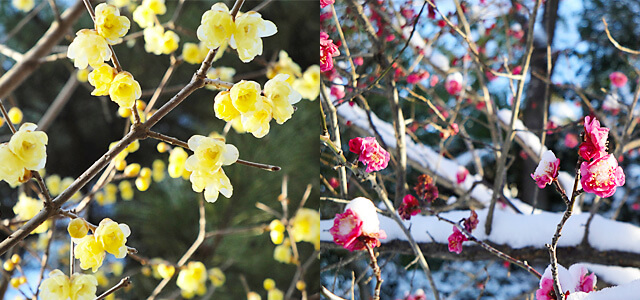 祥雲寺に咲くロウバイと梅の花