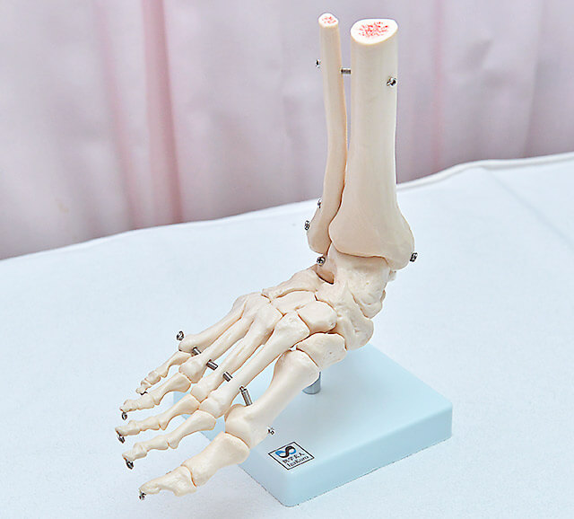 足の骨の模型